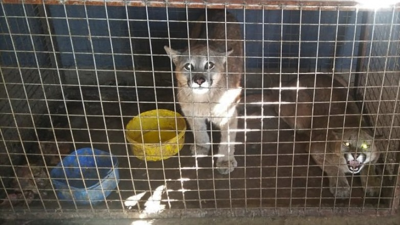 En un allanamiento, Ambiente encontró dos pumas y dos jabalíes en una finca de Pocito