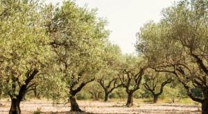 Ambiente infraccionó a una olivícola por fuertes olores