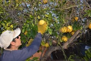 Mosca de los frutos: finaliza el período de cosecha de cítricos