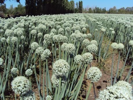 Capacitación para productores de semillas de cebolla