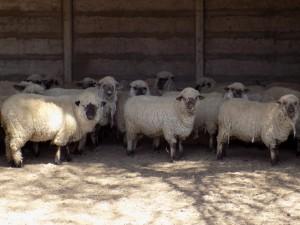 Se inauguró un nuevo emprendimiento de cría de corderos