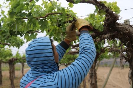 Entrega de productos para combatir la polilla de la vid en San Martín