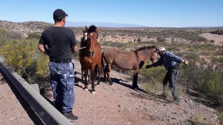 El gobierno capturó 16 animales sueltos en las rutas de la provincia